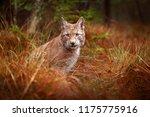 lynx in green forest. wildlife...   Shutterstock . vector #1175775916