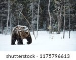 beautiful brown bear walking in ... | Shutterstock . vector #1175796613