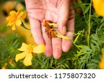 Female Hand Picking Seeds Of...