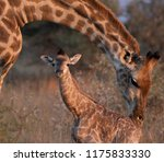 New Born Giraffe