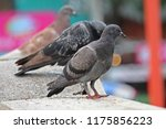 pigeons   they live in nong pra ... | Shutterstock . vector #1175856223