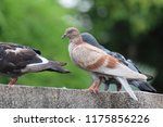 pigeons   they live in nong pra ... | Shutterstock . vector #1175856226