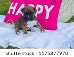 Brown Sweet Boxer Puppy Sittin...