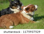 two corgi are playing together... | Shutterstock . vector #1175937529
