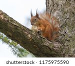 squirrel eating mushroom on... | Shutterstock . vector #1175975590