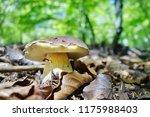 white mushroom   boletus... | Shutterstock . vector #1175988403