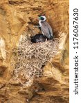 cormorant nest  built out of... | Shutterstock . vector #1176067630