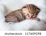 Stock photo newborn sleeping british baby cat 117609298