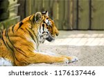 Small photo of Tiger profile view. Tiger portrait. Lying tiger profile. Tiger poster