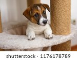 Stock photo small puppy looks out from the basket for cats 1176178789