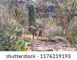 Female White Tail Deer Facing...