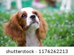 adorable cavalier king charles... | Shutterstock . vector #1176262213