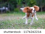 Stock photo running cavalier king charles spaniel puppy from front 1176262216