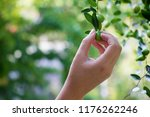 female hand holding a branch of ... | Shutterstock . vector #1176262246