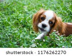 portrait of a cavalier king... | Shutterstock . vector #1176262270