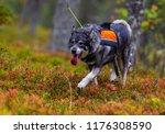 hunting dog seeking prey in the ... | Shutterstock . vector #1176308590