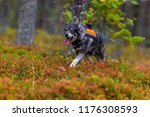 hunting dog seeking prey in the ... | Shutterstock . vector #1176308593