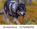 hunting dog seeking prey in the ... | Shutterstock . vector #1176308596