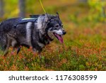 hunting dog seeking prey in the ... | Shutterstock . vector #1176308599