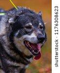 hunting dog seeking prey in the ... | Shutterstock . vector #1176308623