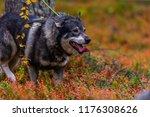 hunting dog seeking prey in the ... | Shutterstock . vector #1176308626