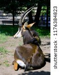 the black antelope the african... | Shutterstock . vector #1176384823