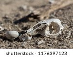 skull of rabbit and snails in...   Shutterstock . vector #1176397123
