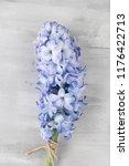 blue hyacinth flower on white...   Shutterstock . vector #1176422713