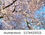 cherry blossom trees  wa usa
