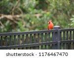 red male northern cardinal bird ... | Shutterstock . vector #1176467470