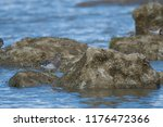 portrait of surfbird  calidris... | Shutterstock . vector #1176472366