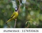 crested finchbill bulbul bird... | Shutterstock . vector #1176533626