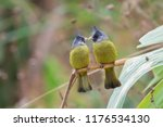 Pair Of Crested Finchbill ...