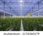 large greenhouse with roses... | Shutterstock . vector #1176560179