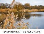 golden autumn reeds. bright...   Shutterstock . vector #1176597196
