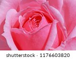 close up of pink rose flower | Shutterstock . vector #1176603820
