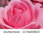 close up of pink rose in garden | Shutterstock . vector #1176603823