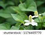 chameleon plant or houttuynia... | Shutterstock . vector #1176605770