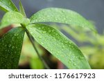 close up of a leaf and water... | Shutterstock . vector #1176617923