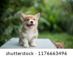 Stock photo newborn welsh corgi puppy 1176663496