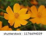 yellow cosmos or cosmos... | Shutterstock . vector #1176694039