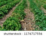 chinese cabbage and onion field ... | Shutterstock . vector #1176717556