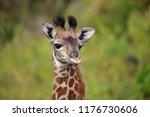 a cute african baby giraffe... | Shutterstock . vector #1176730606