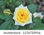 closeup photo of a yellow rose | Shutterstock . vector #1176735916