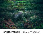 blooming heather in moorland. | Shutterstock . vector #1176747010