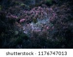 blooming heather in moorland. | Shutterstock . vector #1176747013
