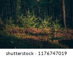 young fir trees in forest in... | Shutterstock . vector #1176747019