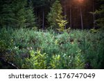 forest with young pine trees in ... | Shutterstock . vector #1176747049