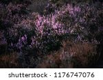blooming heather in field. | Shutterstock . vector #1176747076