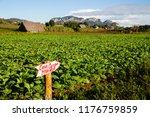 tabacco fields in vinales cuba | Shutterstock . vector #1176759859